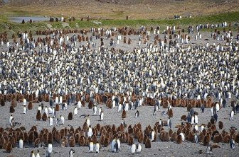 099_Antarctica_South_Georgia_Fortuna_Bay_King_Penguin