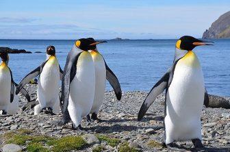 105_Antarctica_South_Georgia_Fortuna_Bay_King_Penguin